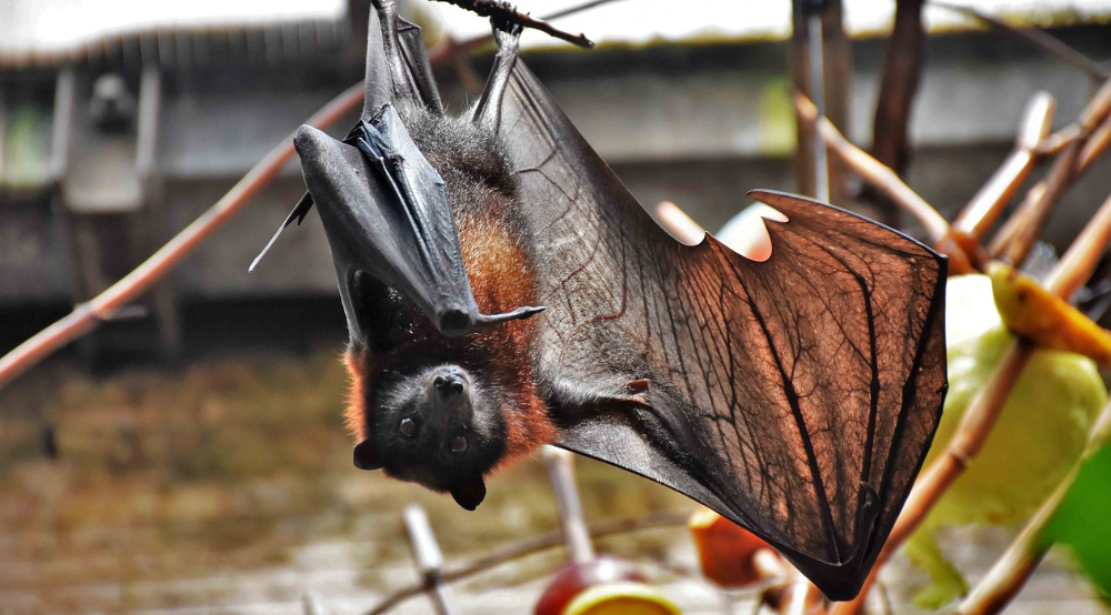 A Tale as Old as Time: Bats, Humans & Modern-Day Infectious Diseases